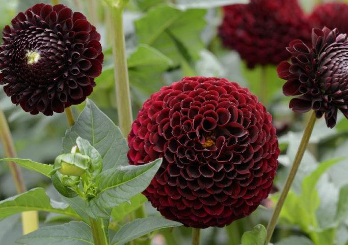گل کوکب فاطمه 1381