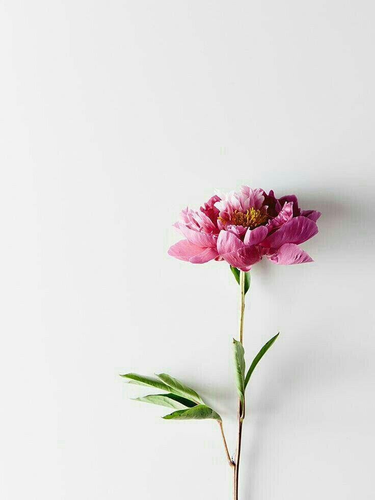 گل سرخ پینار
