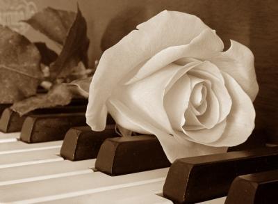 گل رز سفید الناز33