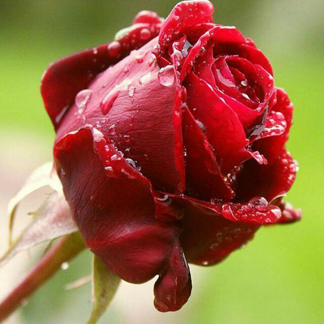 گل سرخ زیبا خزان بوشهر